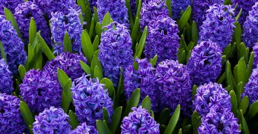 The exquisite aroma of the most sophisticated flower used in perfumes: hyacinths